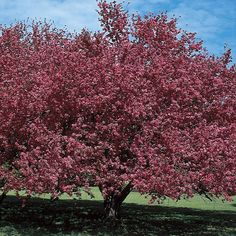 Malus Almey Flowering Crabapple trees sport glistening, fiery-crimson blossoms each spring as flowers as large as silver dollars cover the branches to the tip.