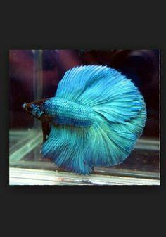 Light blue Betta