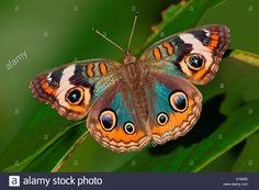 Blue Common Buckeye Butterfly Junonia Coenia Stock Photo, Royalty ...