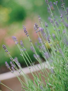 Lavender. Loves sandy soil, making it perfect to grow along the beach.