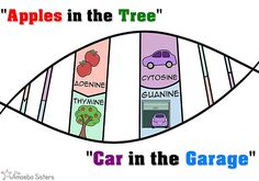 biology classroom DNA Mnemonic poster - by The Amoeba Sisters Biology Memes, Biology Lessons, Science Memes, Ap Biology, Science Biology, Science Education, Science Activities, Life Science, Forensic Science