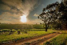 Vineyards in McLaren Vale, South Australia are spectacular when they are lit up by the sun. Click the image to find the McLaren Vale Visitor Guide and discover more.