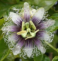 Passiflora edulis 'Frederick'; I love how big bumble bees get so drunk on these, you can pet them...