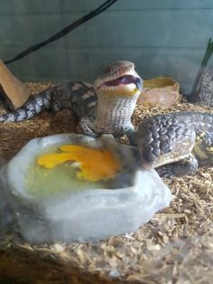 Timone the blue tongue skink and zeus the shingleback enjoying some eggs Reptile House, Reptile Room, Majestic Animals, Animals Beautiful, Cute Animals, Cute Reptiles, Reptiles And Amphibians, Snake Turtle, Pretty Snakes