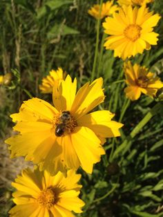 Pollinators!Mind your bees wax! Wildflower Farm's bees Love Coreopsis lanceolata!