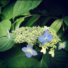 今日の紫陽花です。 - @chuuzaemon- #webstagram