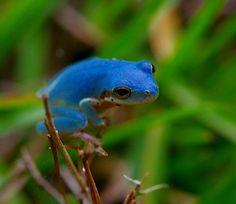 blue tree frog. Yes, you are very handsome, and very blue!