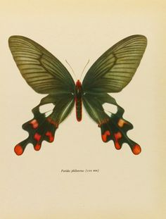 Vintage Butterfly Print, Himalaya Windmill Swallowtail, 1960s Book Plate To Frame (No. 70-1). , via Etsy.