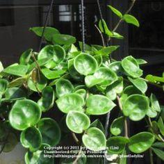 Hoya plants | ... Database: Hoya Chelsea (Hoya carnosa 'Chelsea') (All Things Plants