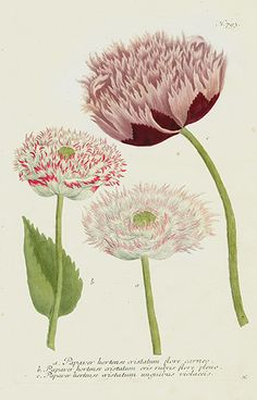 Johann Weinmann Peony, Poppy & Rose Prints 1739. Antique botanical illustration.