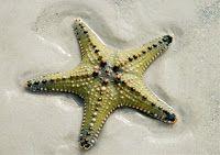 Le Blog de M.Colin: Comment mange l'abominable étoile de mer ?