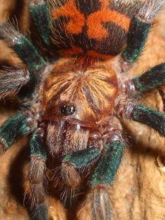 arachnidsupclose:  greenbotlle blue tarantula