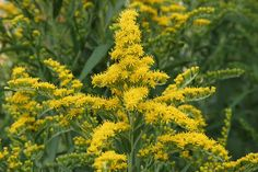 Solidago, Helenium and Rudbekia are some favorite fall perennials that give a splendid array of flowers. Brighten up Fall gardens with red and white favorite perennials. Fall Perennials, Deer Resistant Perennials, Flowers Perennials, Planting Flowers, Flowering Kale, Low Growing Shrubs, Shades Of Violet, Pea Flower, Herbs