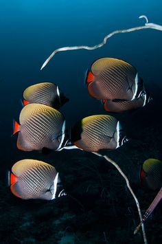 Red Tail Butterfly Fish