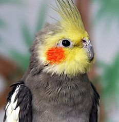 The Cockatiel, also known as the Quarrion and the Weiro, is a member of the cockatoo family endemic to Australia.