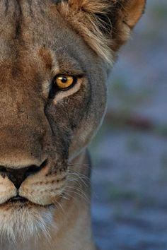 llbwwb: (via / Night Time Stare - High ISO by Ed Hetherington) Nature Animals, Animals And Pets, Cute Animals, Beautiful Cats, Animals Beautiful, Lion Photography, Photo Animaliere, Lion And Lioness, Lion Love