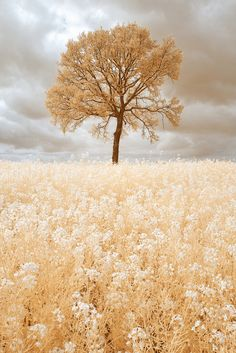 alseide-fiore: Golden Tree by Pierre Louis Ferrer photography latte on clipzine. Infrared Photography, Nature Photography, Beautiful World, Beautiful Images, Belle Image Nature, Golden Tree, Lone Tree, Single Tree, Photos Voyages