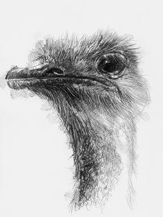 Artist Sean Briggs producing a sketch a day Ostrich  #art #drawing #http://etsy.me/1rARc0J #ostrich #sketch
