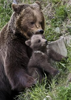 Brown Bears  (Copyright: Corinne AA)