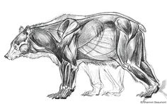 bear anatomy - Google Search