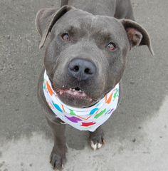 SNORK - A1055851 - - Brooklyn  TO BE DESTROYED 12/09/15 ***NEEDS NEW HOPE RESCUE*** Snork is a young year old pup who had an interesting turn of events, he was a stray who had a finder that really liked him, but then an incident with a co worker occurred. A bite happened but without much information or backup from a reliable source. Snork entered the ACC of NYC with minimal information. On the bright side Snork was easy to handle at intake. His SAFER behavior exam went quit