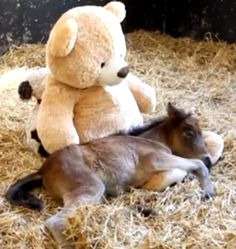 Video of an orphaned pony cuddling with teddy bears
