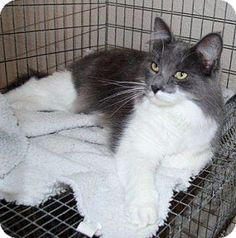 McDonough, GA - Domestic Longhair. Meet Justin, a cat for adoption. http://www.adoptapet.com/pet/7891128-mcdonough-georgia-cat  Shelter: Henry County Humane Society E-mail: info@henryhumane.com Website: http://www.henryhumane.com Address: 46 Workcamp Road McDonough, GA 30253