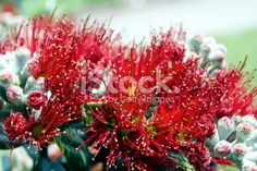 New Zealand Pohutukawa Royalty Free Stock Photo