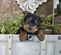 Lancaster Puppies, Yorkshire Terrier Puppies, Puppies For Sale, Yorkie, Cute Animals, Teddy Bear, Sweet, Dogs, Fun