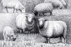 more Moore sheep