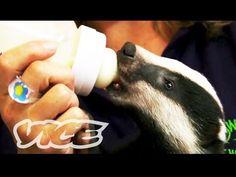 Cute Baby Badgers! - YouTube