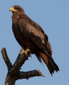 Wahlberg eagle