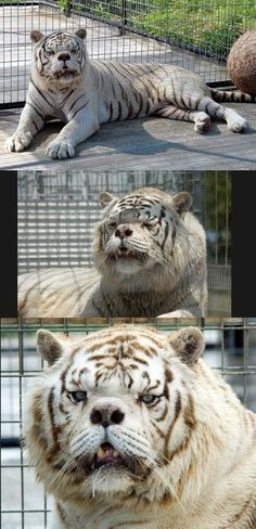 Big cat with a story. Meet Kenny - The first tiger with down syndrome ~ He's so beautiful!Big cat with a story. Meet Kenny - The first tiger with down syndrome ~ He's so beautiful! Animals And Pets, Baby Animals, Funny Animals, Cute Animals, Beautiful Creatures, Animals Beautiful, He's Beautiful, Tier Fotos, Mundo Animal
