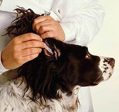 Preventive measures reduce the likelihood of infection as well as the need for veterinary care. Dogs that suffer from chronic ear problems should have their ears regularly checked and cleaned usin…