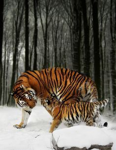 Siberian tiger with cub - Winter Stroll - by Julie L Hoddinott