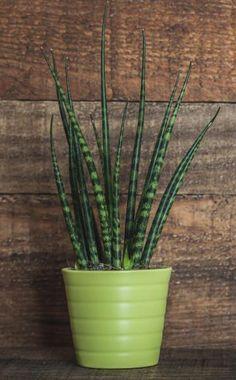 Der Bogenhanf (Sansevieria trifasciata) mit seinen steifen, aufrechten Blättern ist sehr robust und gedeiht auch bei nicht ganz optimalen Standortbedingungen. Die Idealtemperatur liegt bei 21 bis 24 Grad Celsius. Im Winter sollte die Temperatur etwas niedriger liegen, etwa bei 13 bis 16 Grad Celsius. Gießen Sie sparsam, denn Sansevierien mögen es lieber trocken als zu nass
