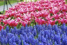 A sea of grape hyacinth and tulips