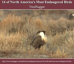14 of North America's Most Endangered Birds | TreeHugger | http://www.treehugger.com/slideshows/endangered-species/14-north-americas-most-endangered-birds