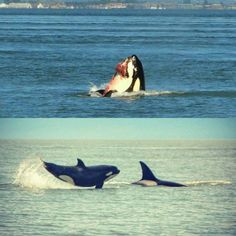 Pictures by Tom Smith #feedingandplaytimeonthewater Vancouver, British Columbia, Canada #killerwhales My Return Ticket   by chris franklin