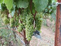 Ponzi grapes hang on the vine