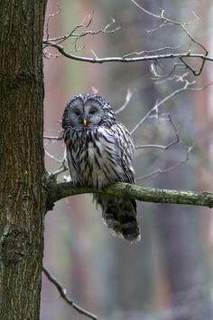 Ural owl (Poland)