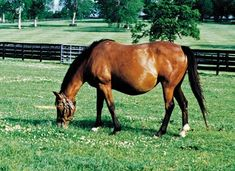 Mare Gestation Calculator - TheHorse.com | Are you wondering when your pregnant mare will foal? Use our Mare Gestation Calculator to find out! The average gestation length in the mare ranges from 320 to 362 days; most mares will foal within 330-345 days of successful breeding. However, mares have successfully foaled with gestation lengths outside this range. #horses #foaling