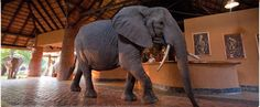 Mfuwe Lodge (Zambia) - Award winning safari lodge set in the most prolific game area of the South Luangwa. In November the local elephants regularly wander right through the lobby, lured by a nearby wild mango tree! Happy Elephant, Elephant Walk, Elephant Love, Hotel Lobby, Hotel S, National Geographic Photo Contest, Herd Of Elephants, Elephants Never Forget, Cool Countries