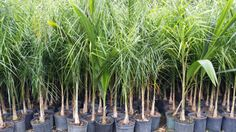 buy cold hardy palm trees Wholesale Plant Nursery Queen Palms - Homestead cold hardy plants liners - realpalmtrees
