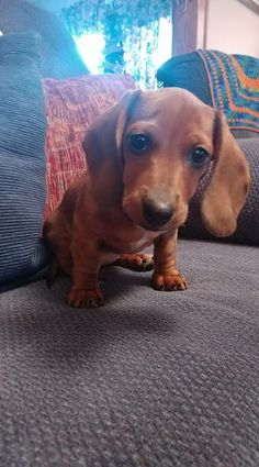 Maybe I'm biased but I think she's beautiful ♥ No, she Totally is Beautiful! Cute Little Puppies, Puppies And Kitties, Cute Puppies, Cute Dogs, Dachshund Puppies, Dachshund Love, Dachshunds, Dog Photos, Dog Pictures