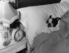 bed time boston terrier.