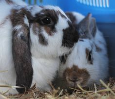 Chino (right) binkied off in to the sunset with Isis tonight Isis is quite down after loosing her sister so we hope Chino can help lift her spirits. Another successful rabbit re homing by Buddies Bunnies Rescue.
