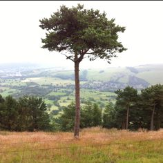 The highest tree on the ridge that stretches towards Ward's Piece, near Castleton in the Peak District.