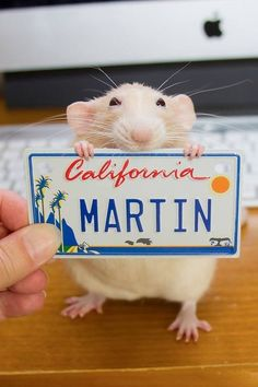 …teeny tiny license plates seem to be the most popular gift! | Marty The Rat Will Change How You Feel About Pet Rats