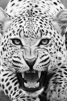 #beautiful #photo #leopard